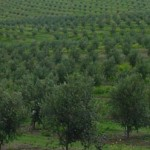 What is Olive Leaf and Olive Leaf Extract?