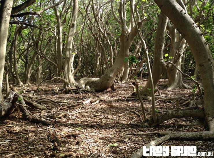 Lady Musgrave Island Tree Habitat