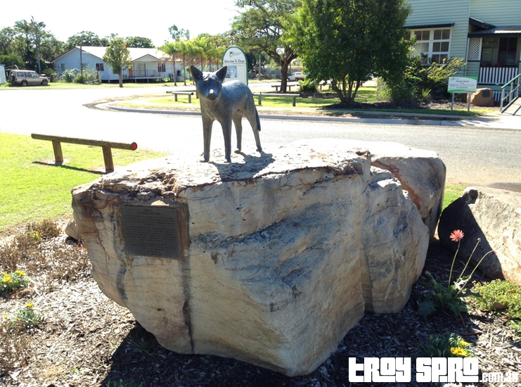 Dingo in Queensland